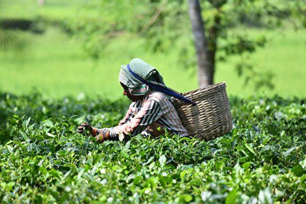 2018年10月9日,印度茶工在離高哈蒂(Guwahati)約185公里的Sonitpur區Missamari村的茶園裏採摘茶葉。(BIJU BORO/AFP via Getty Images)