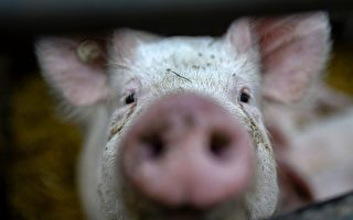 研究:英国人体脂肪率逐年增加 比猪还高