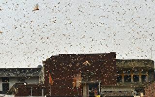 大批蝗蟲入侵印度甘蔗產區 糧食作物面臨威脅
