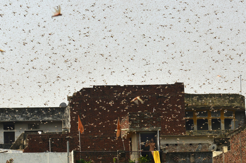 印度聯邦農業部表示,大量沙漠蝗蟲已通過德里首都轄區與哈里亞納邦北部,正入侵印度最大甘蔗產區北方邦(Uttar Pradesh)。圖為蝗蟲襲擊了北方邦的安拉阿巴德(Allahabad)。(SANJAY KANOJIA/AFP via Getty Images)
