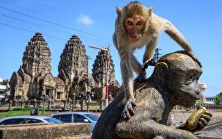 泰国古城遭猴子占领 人们欲抢回失地