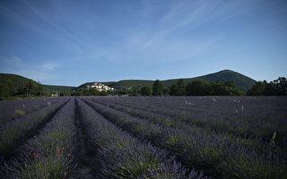 組圖:法國南部薰衣草盛開 又到蜂農采蜜忙