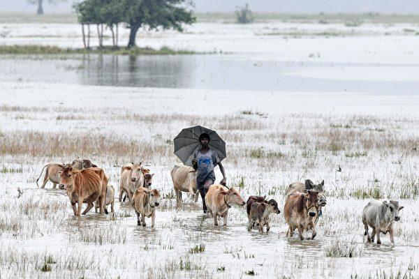 2020年6月27日,來自印度東北部阿薩姆邦(Assam)Morigoan區Buraburi村的一位村民趕著他的牲畜蹚著洪水行進。(Biju BORO/AFP)