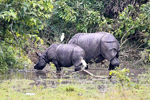 2020年6月28日,印度東北角阿薩姆邦(Assam)Morigaon區處在洪澇中。圖為該地區波比托拉(Pobitora)野生動物保護區中的印度一角犀牛。(Biju BORO/AFP)