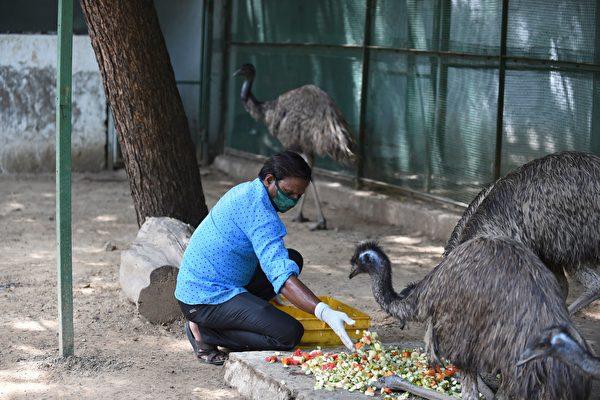 2020年6月28日,印度阿默達巴德(Ahmedabad),關閉的Kamla Nehru動物園內一名工作人員戴著口罩餵食鳥類。(SAM PANTHAKY/AFP via Getty Images)
