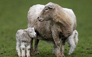 虛擬農場之旅「見見我農場裡的羊毛羊」