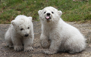 组图:德国动物园里可爱的北极熊双胞胎