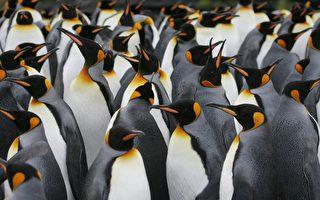 南極企鵝偷放笑氣 害科學家陷入亢奮狀態