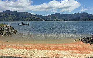 数百万只小龙虾搁浅死亡 染红纽西兰海滩