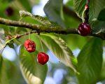大连双岛湾的樱桃种植受到异常气候和疫情的双重打击,图为资料图。(NICOLAS TUCAT/AFP via Getty Images)