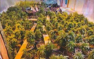 南加扫荡中资大麻屋 捕19人缴获百万现金