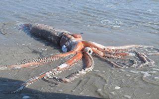 深海怪客 4公尺大王烏賊驚現南非海灘
