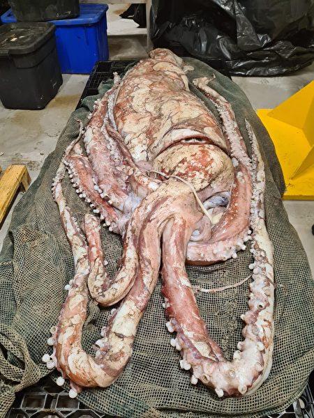 這隻「大王烏賊」已被送到南非自然歷史博物館製成標本。(南非自然歷史博物館 Iziko South African Museum授權提供)
