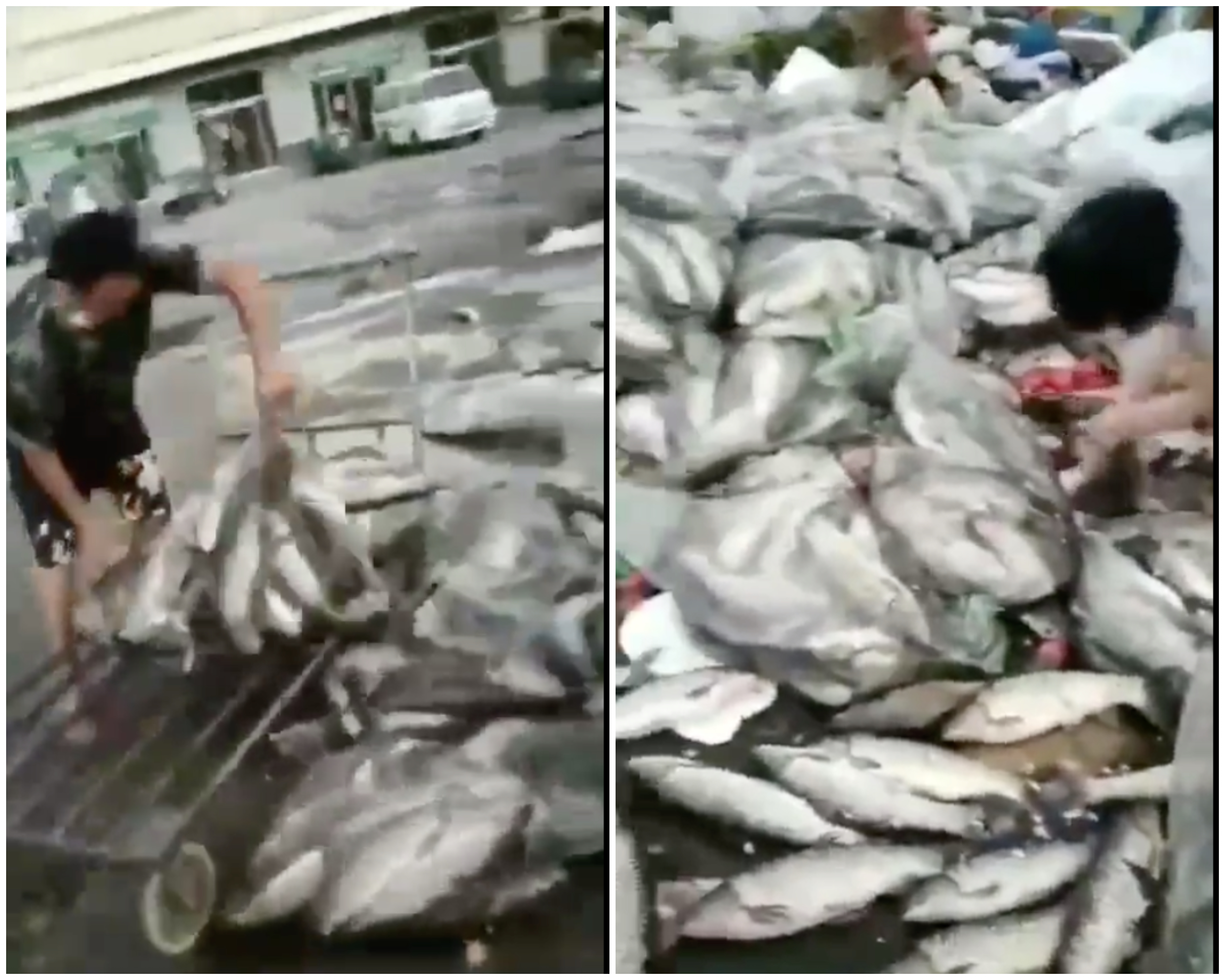 北京新一輪中共肺炎(俗稱武漢肺炎、新冠肺炎)疫情大爆發後,官方一度把病毒源頭指向歐洲的三文魚。「三文魚」恐慌之下,各地紛紛下架,大批魚被銷毀,丟棄。(影片截圖)