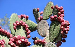 墨西哥男子用仙人掌做皮革 既经济又环保