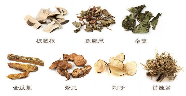 台灣最新研發的中共肺炎藥方中,用到了板藍根、魚腥草、桑葉、全瓜蔞、蒼朮、附子、茵陳蒿等中藥。(Shutterstock/大紀元製圖)