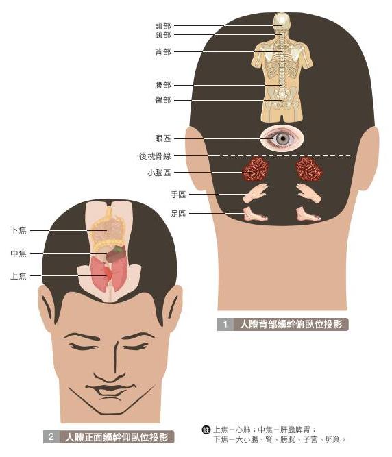 頭部反射區,不同區域對應身體不同部位,梳頭按摩時可以著重按摩。(日日學提供)