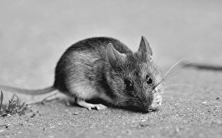 台中某國中午餐驚現鼠屍 逾百學生吃到遭污食物