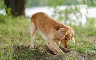 与小狗合作无间 主人种树不用铲子