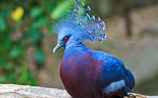 15種造型奇特的鴿子 你見過幾種?