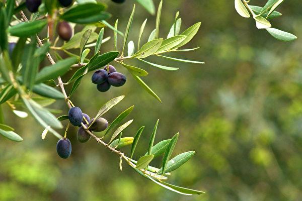 橄榄树上的橄榄受到大量日晒和害虫攻击,为了保护自己,装备了强大的抗氧化物质。(Shutterstock)