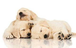 三只黄金猎犬 把彼此当作枕头来用