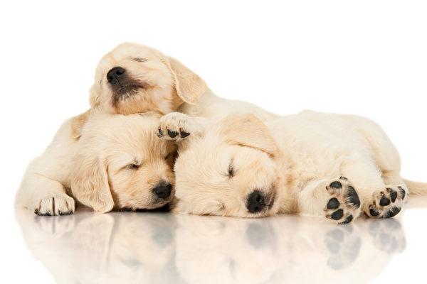 三隻黃金獵犬 把彼此當作枕頭來用