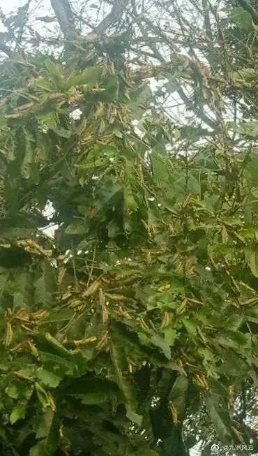 廣西桂林市全州縣近日爆發蝗災。(微博截圖)