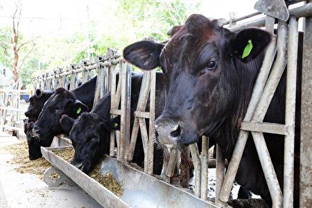 嘉大動物試場飼養的安格斯黑牛。