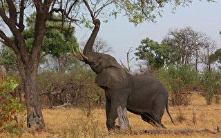 非洲南部出現數百頭大象神祕死亡