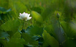 七律:詠蓮 ——致反迫害21周年