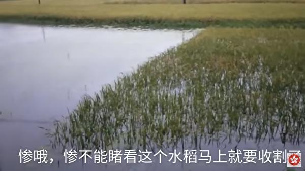 圖為江西省一處水稻田,即將要收割卻被洪水侵襲。(影片截圖)