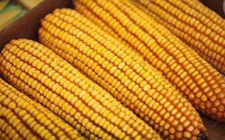 中共稱「秋糧豐收」挨轟 糧食短缺或難避免