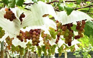 串串葡萄成熟时!彰化采果尝鲜趣