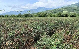 高温少雨蜜香红茶茶树枝条干枯  茶改场抗旱