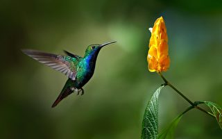 蜂鸟可看见紫色和紫外色