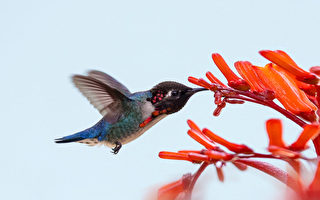 世界上最小的鸟 如宝石般的吸蜜蜂鸟