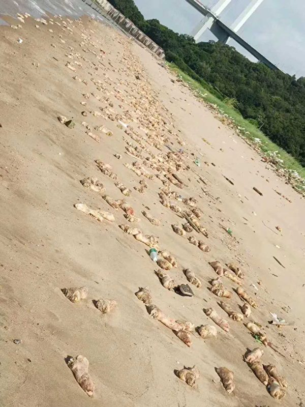 廣東東莞一處沙灘7月11日早上突然出現大量豬腳和動物內臟。(微博截圖)