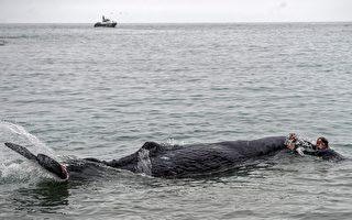 抹香鯨遭漁網纏住 潛水員花幾天還割不完