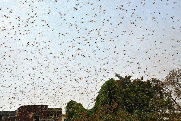 2020年6月11日,在印度安拉阿巴德住宅區飛舞的大量蝗蟲。(SANJAY KANOJIA/AFP via Getty Images)