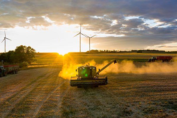 组图:疫情下小麦收获期 法国农民开镰收割