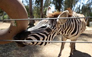 受疫情影响 加州奥克兰动物园恐永久关闭