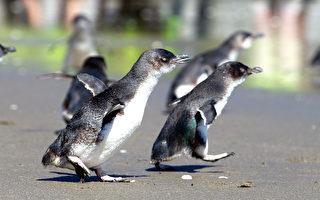 蓝色小企鹅过马路,太阳能标志提醒驾车者