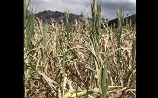 中国东北的辽宁省遭遇69年来最旱夏天,农作物大面积绝收。(视频截图)