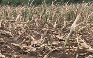 大陆玉米供需缺口大 价格领跑粮食市场