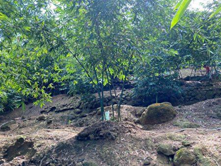 绿竹笋喜高温多湿,主要栽培于平地与海拔500公尺以下坡度不大的山坡、溪畔等地。