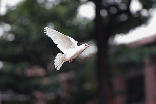 """飞到一半不动 哥伦比亚白鸽空中被""""定格"""""""