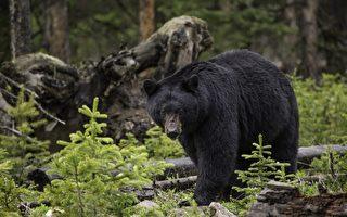 黑熊嗅嗅還摸大腿 墨西哥女子淡定自拍