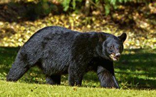 在後院遭黑熊攻擊 日本8旬老婦將牠「摔飛」