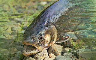 美加州出现前所未见的细菌 致6万条鱼死亡